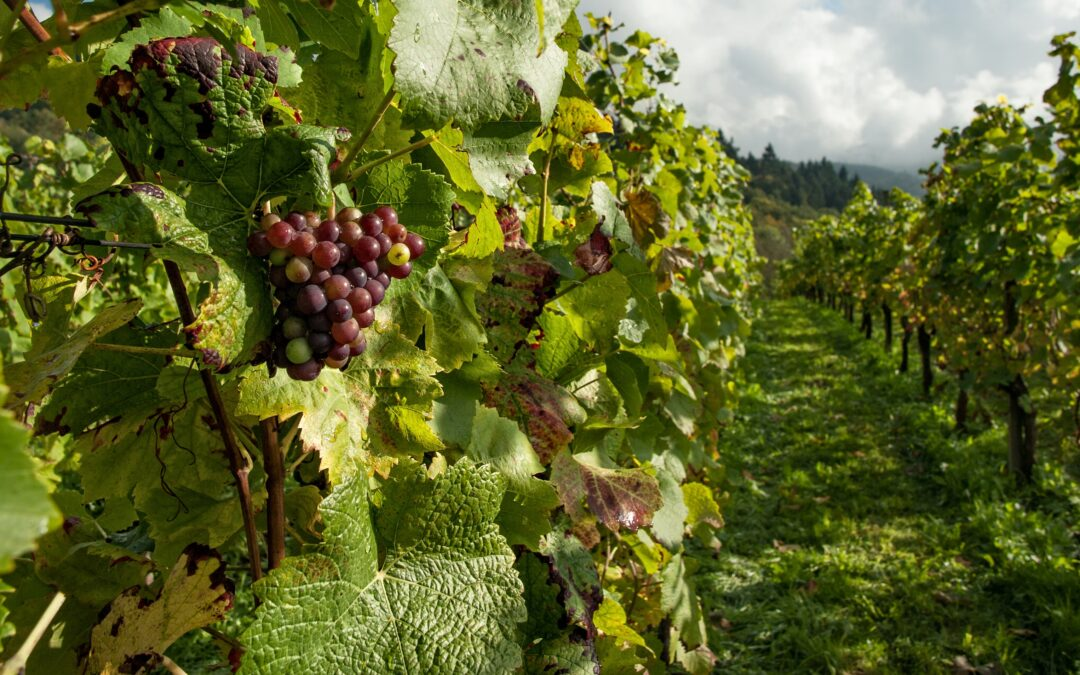 The benefits of organic grapes